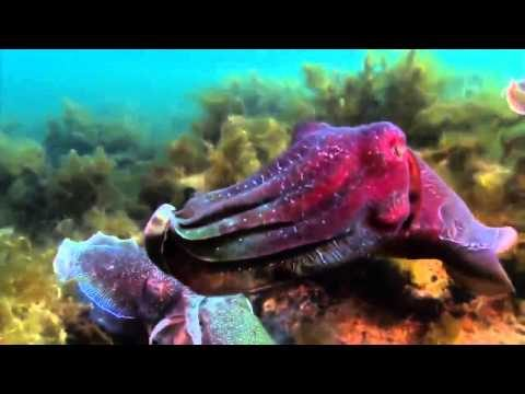 national geographic documentary 2015 – animal planet 2015 hd – giant pacific octopus docum